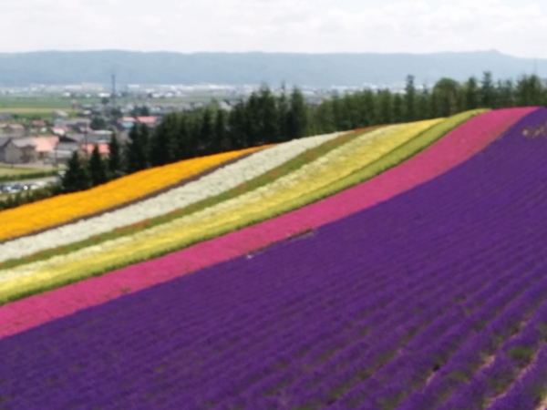 【中富良野町】ファーム富田ラベンダーのお花畑観光写真です。