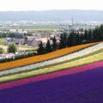 富良野ラベンダーと美瑛パッチワークの丘めぐり7時間観光コース