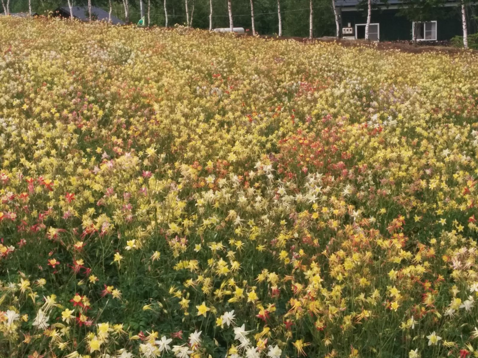 【美瑛町】四季彩の丘風景写真です。