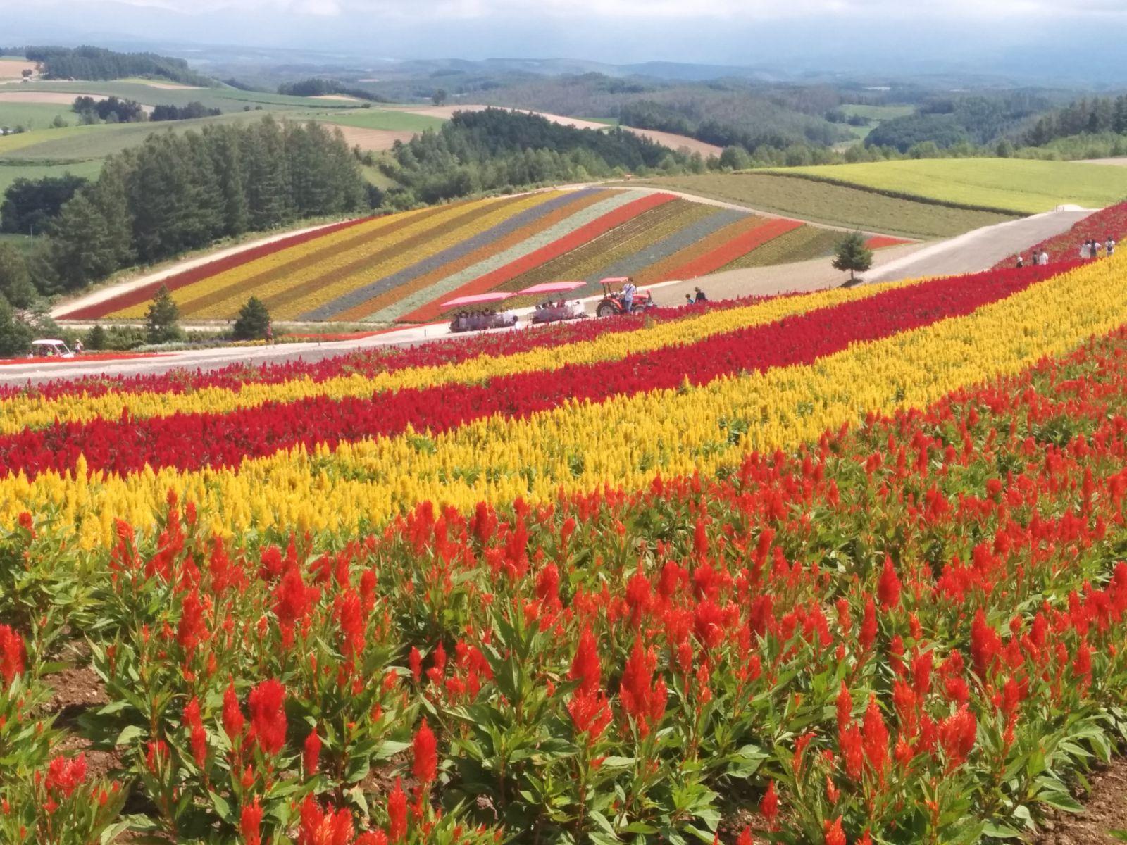 【美瑛町】ラベンダーの四季彩の丘観光写真です。