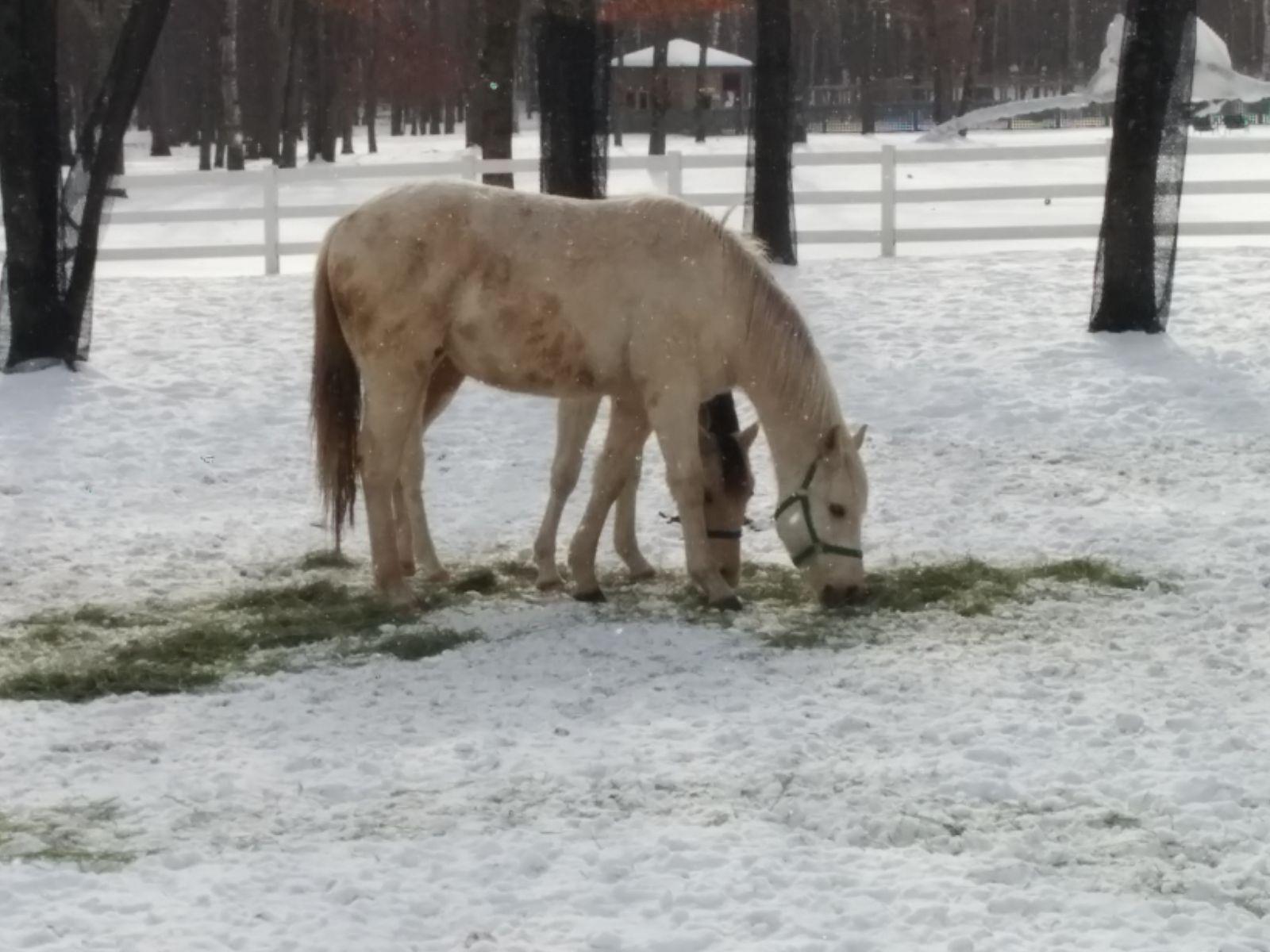 【苫小牧】雪のノーザンホースパーク観光写真です。