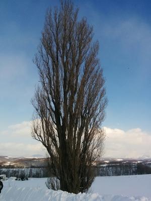 【富良野・美瑛】美瑛町冬のケンメリポプラの木と北西の丘観光タクシー