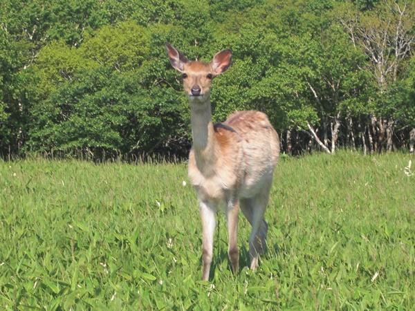 【北海道】エゾ鹿観光案内です。
