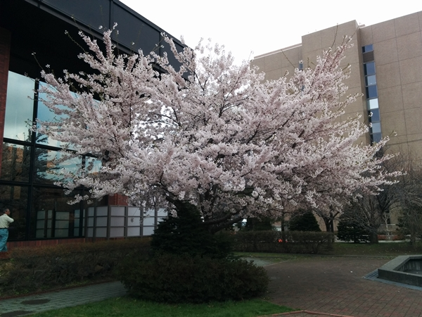 【札幌】桜・紫ツツジ・こぶしの花観光タクシー