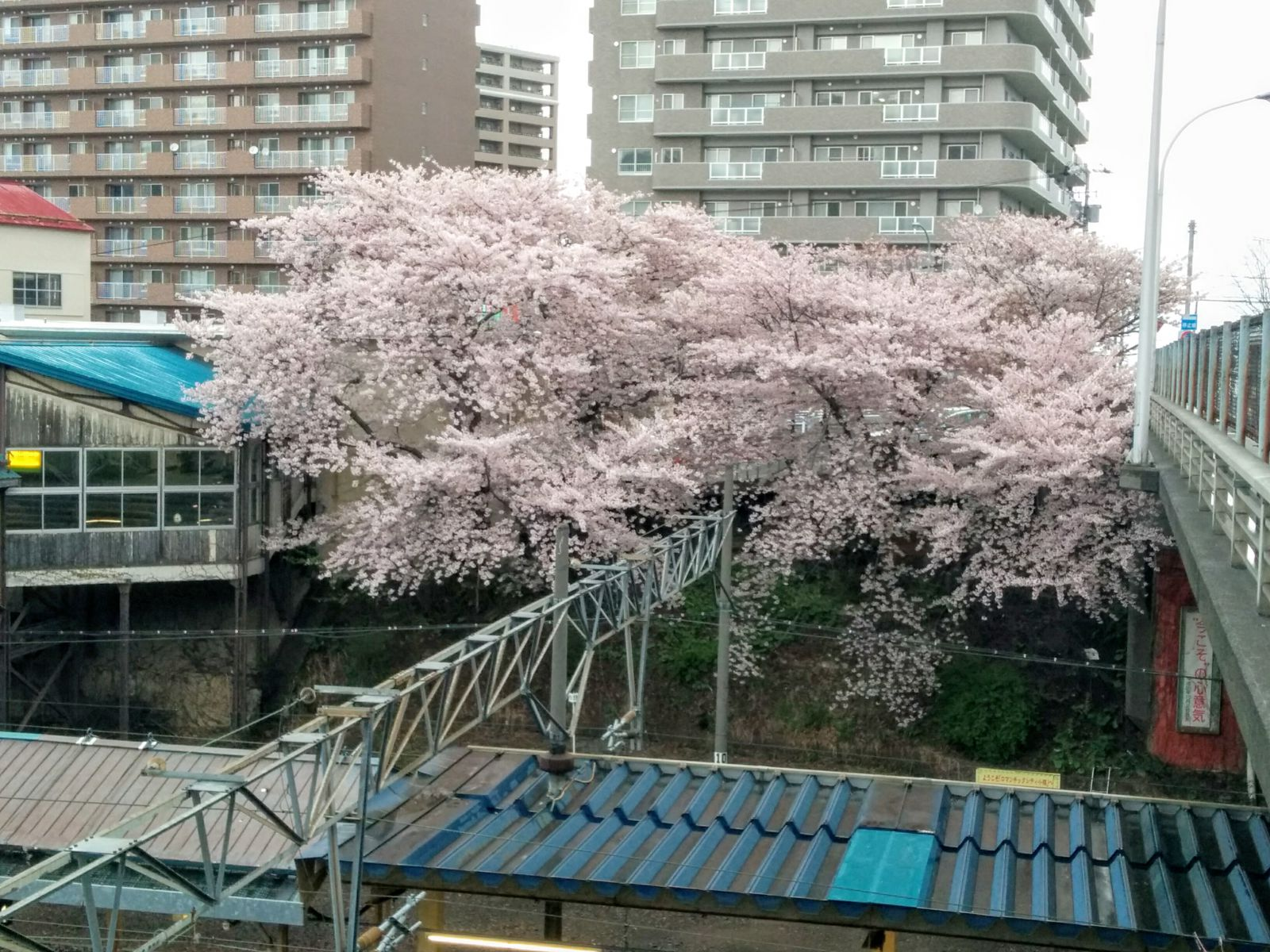 【小樽市】小樽桜🌸おすすめ三選観光案内です。
