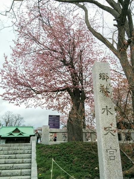 【小樽市】水天宮の桜🌸と石川啄木の歌碑観光案内です。
