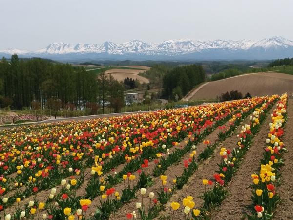 【美瑛町】お花畑・四季彩の丘観光案内です。
