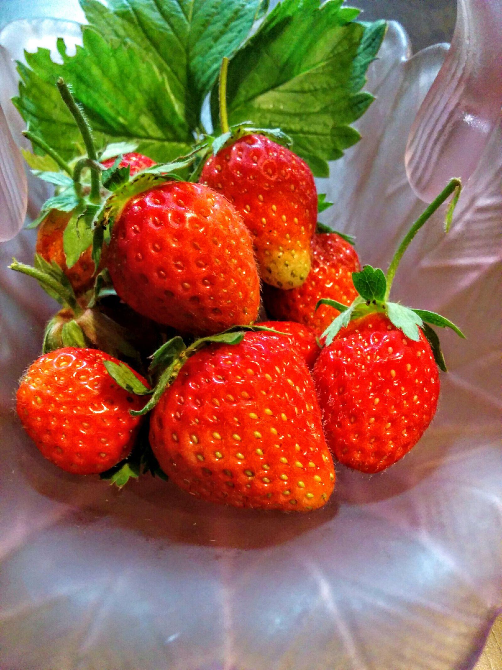 【小樽市】我が家の家庭菜園・イチゴです。