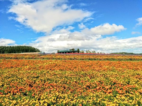 【上富良野町】フラワーランドお花畑観光案内です。