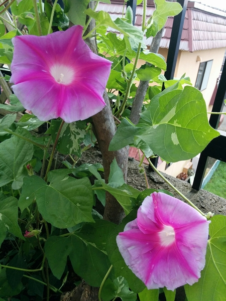 【小樽市】我が家の遅咲き朝顔やっと咲きました。
