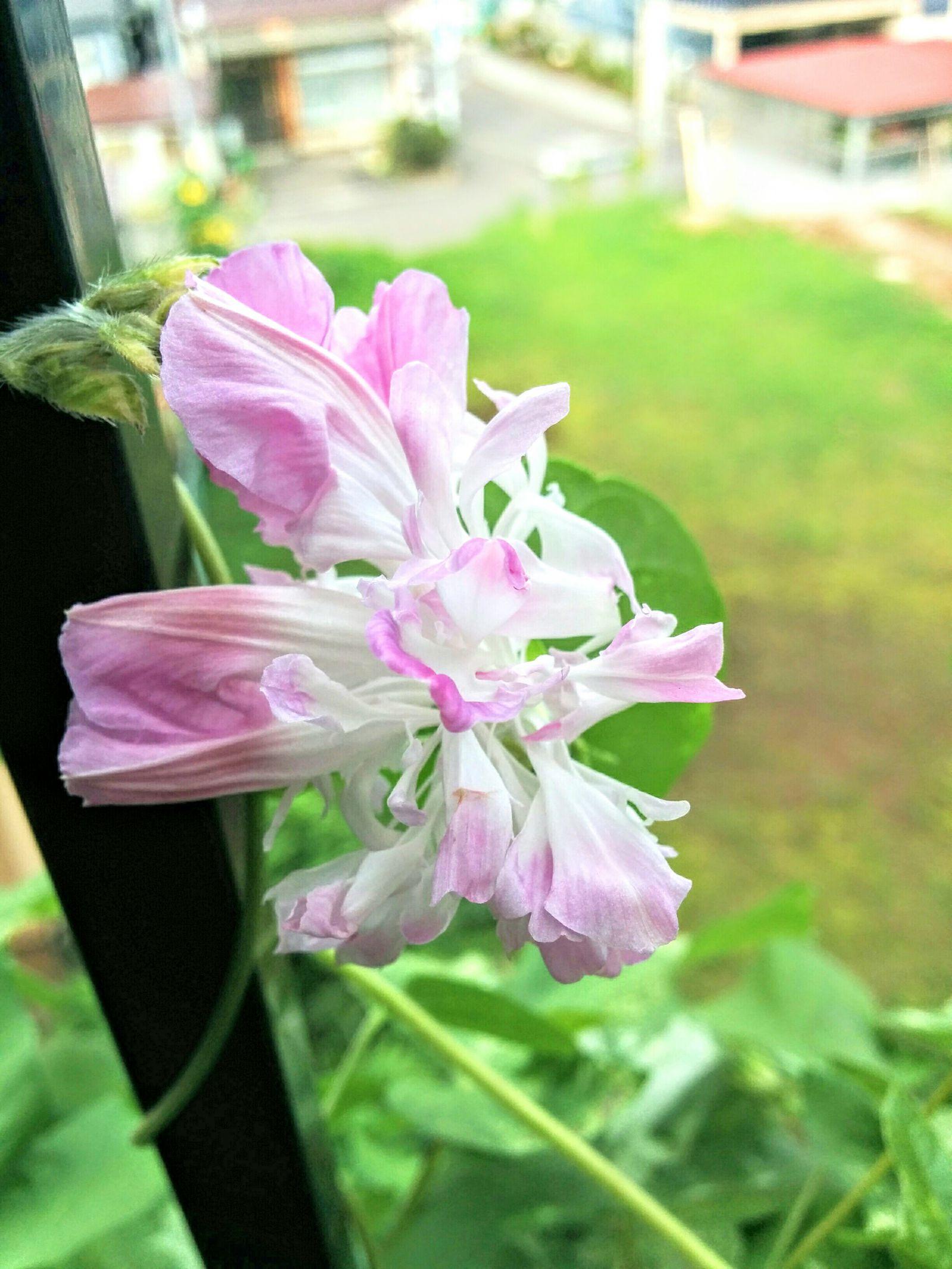 【小樽市】自宅珍しい八重咲き朝顔開花しました。