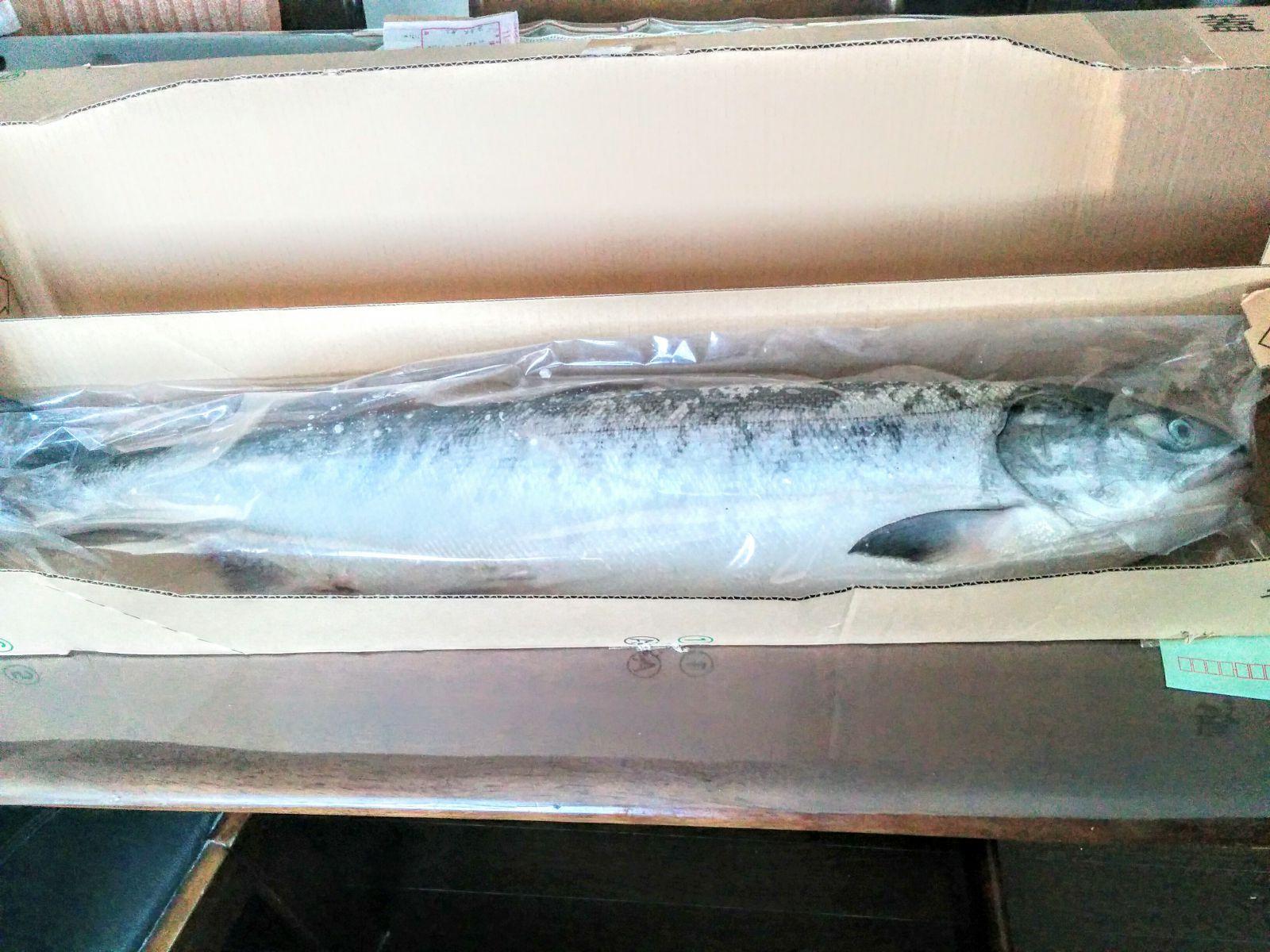 【メジカ鮭】北見枝幸の漁師の友人から嬉しい贈り物です。