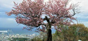 【小樽】天狗山・天狗桜が開花し満開です。