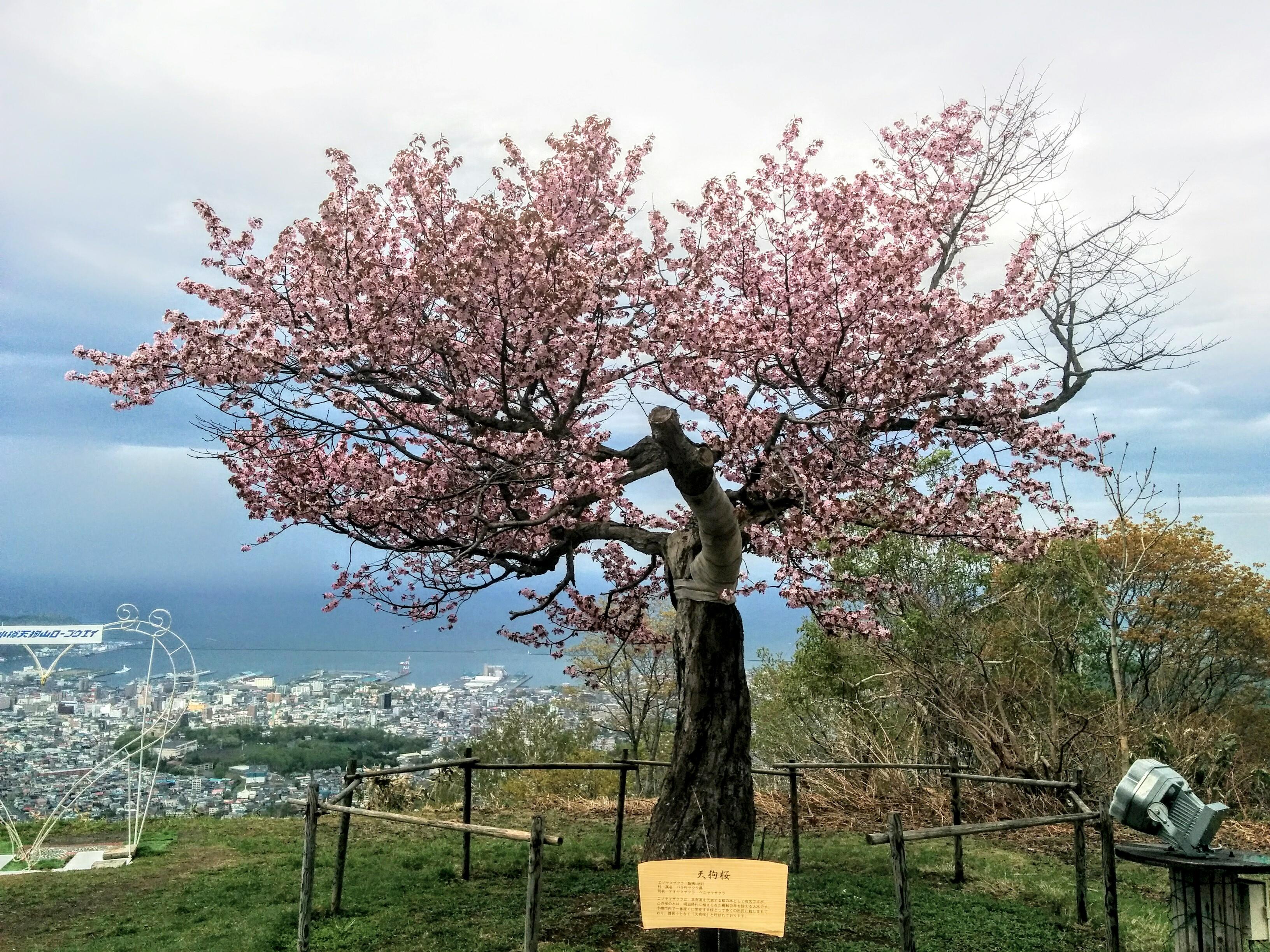 【小樽観光タクシー】天狗山・天狗桜が開花し見頃です。