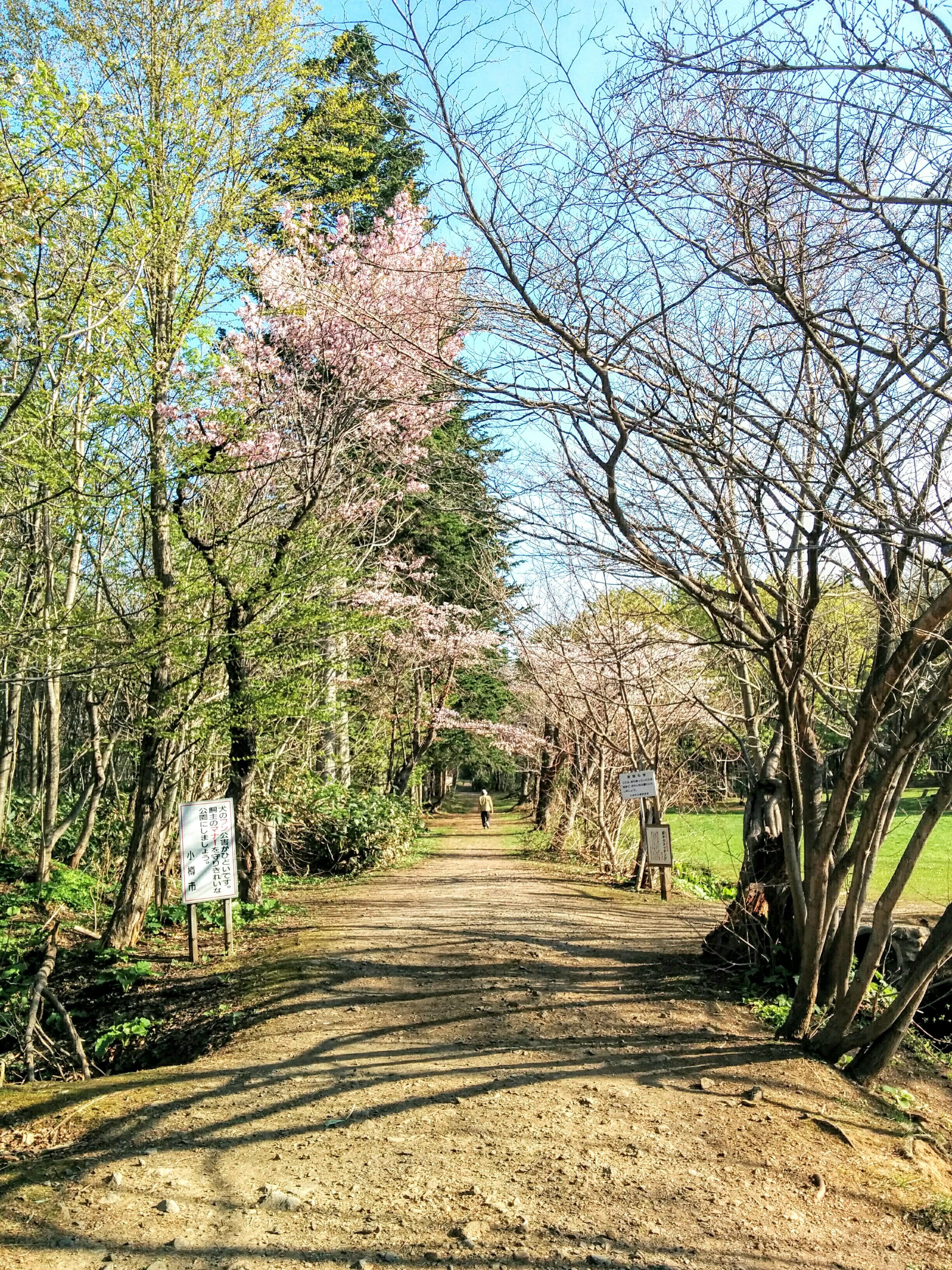 【小樽】なえぼ公園に桜が咲きました。