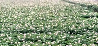 【倶知安町】ジャガイモ畑の花が満開で~す。