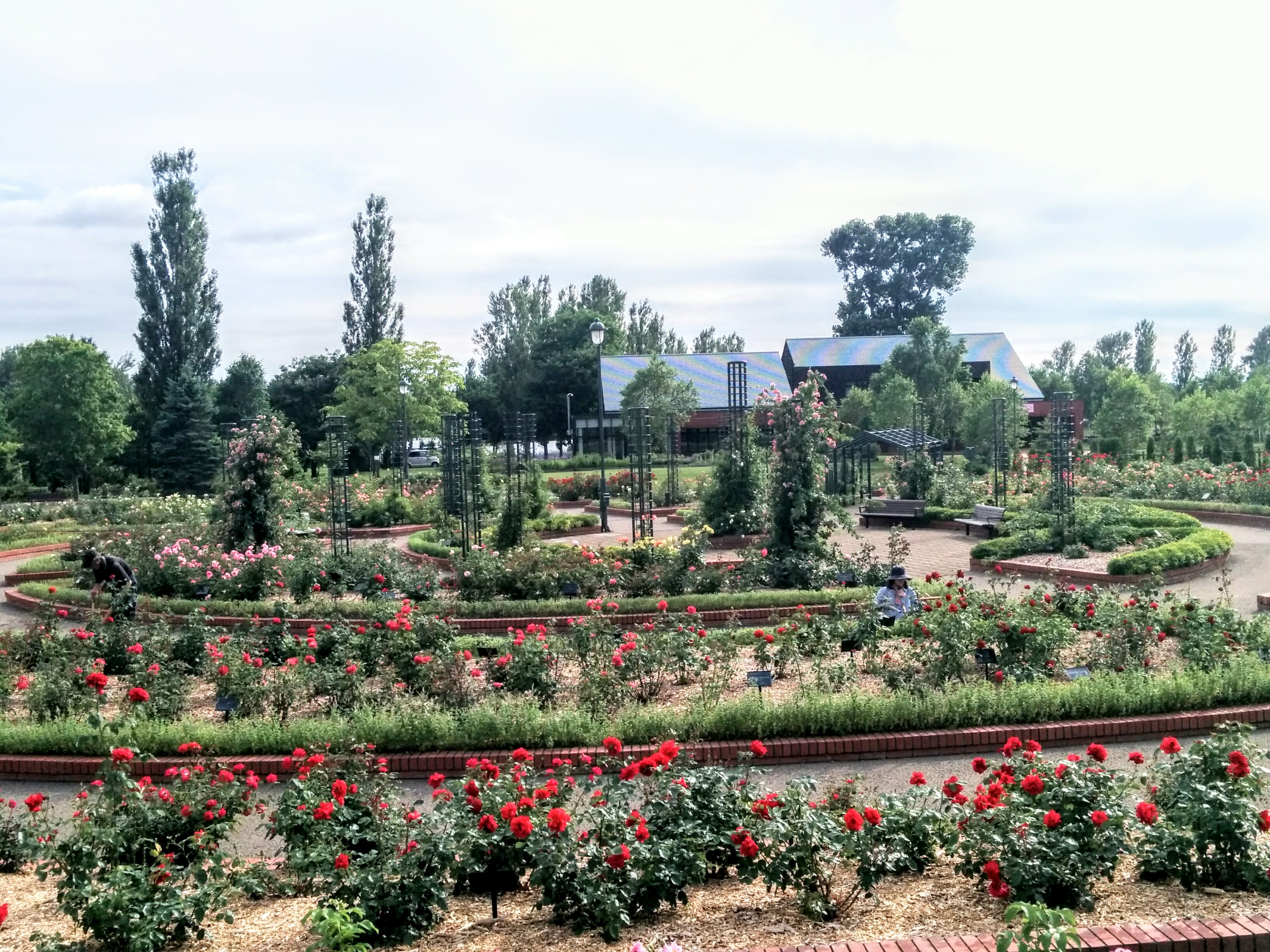 【岩見沢市】岩見沢公園・バラ園に行って来ました。
