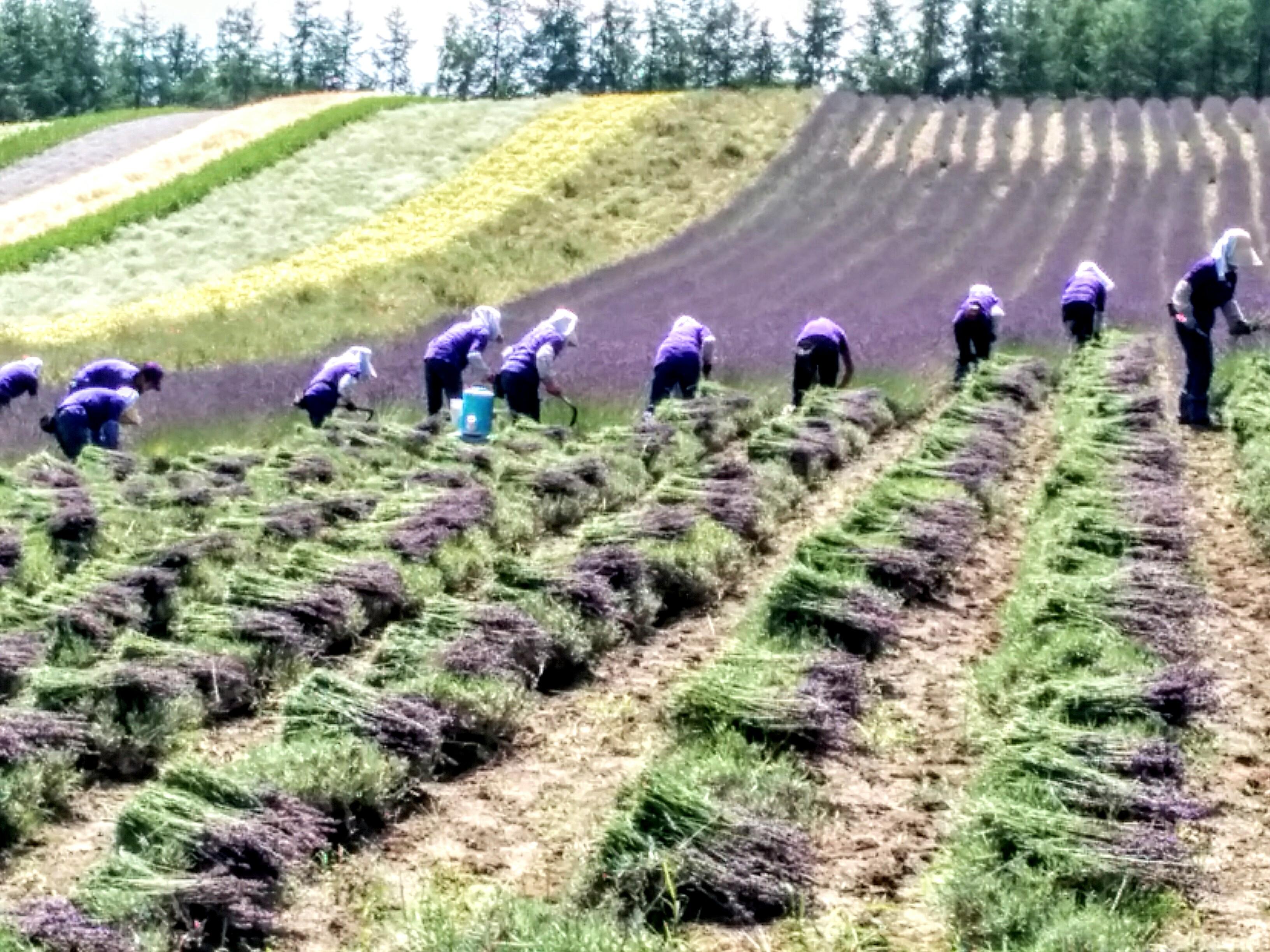【富良野】ファーム富田・ラベンダー刈り取り作業始まってます。