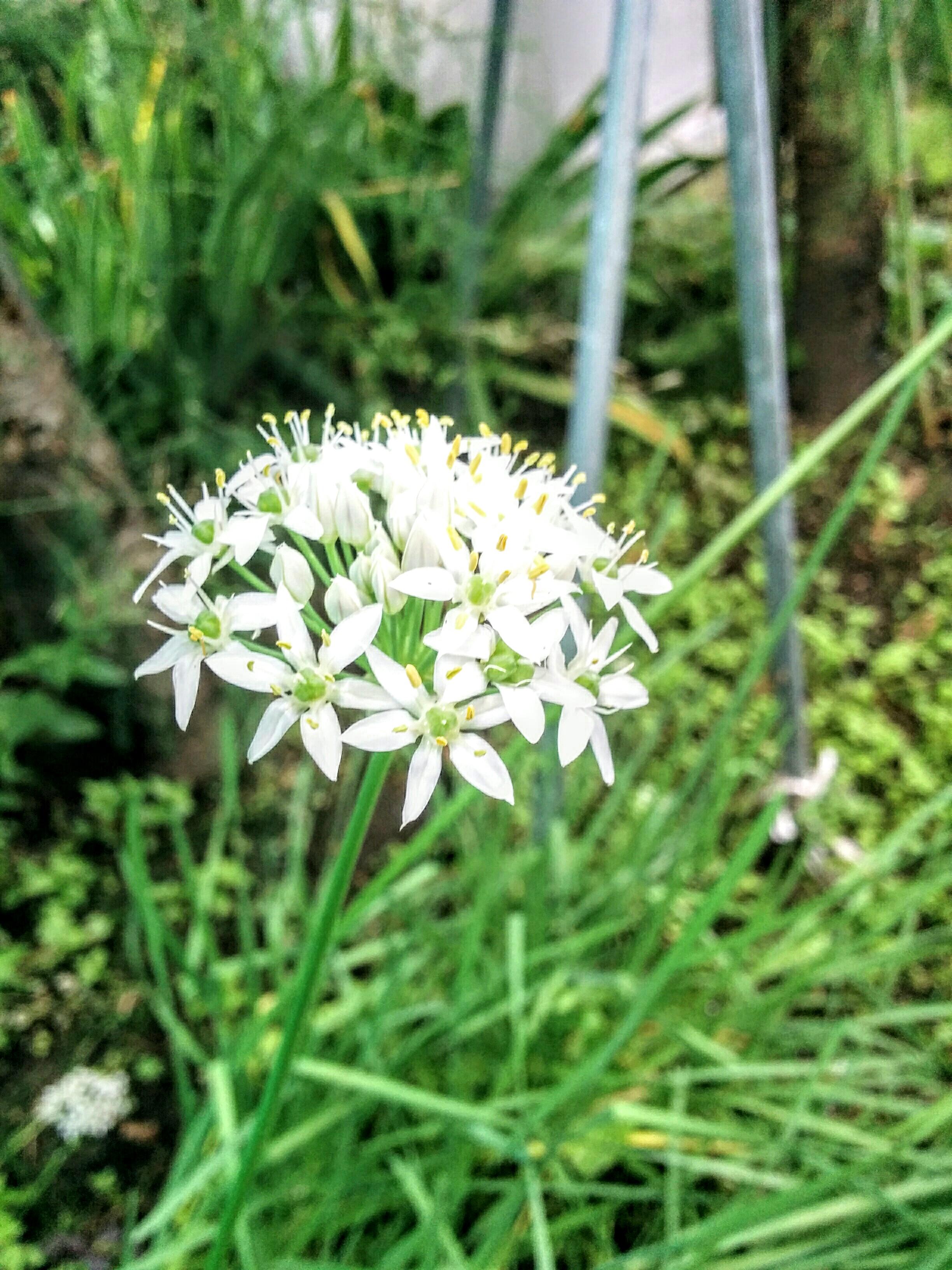 【小樽】我が家の畑にニラの花と朝顔が咲きました。