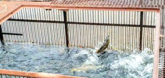 【余市】余市川に鮭が遡上しています。