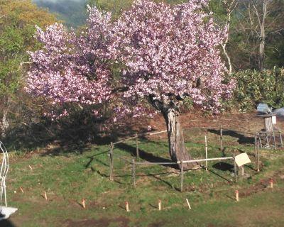 【小樽】天狗山・天狗桜と珍しい雲海で~す。