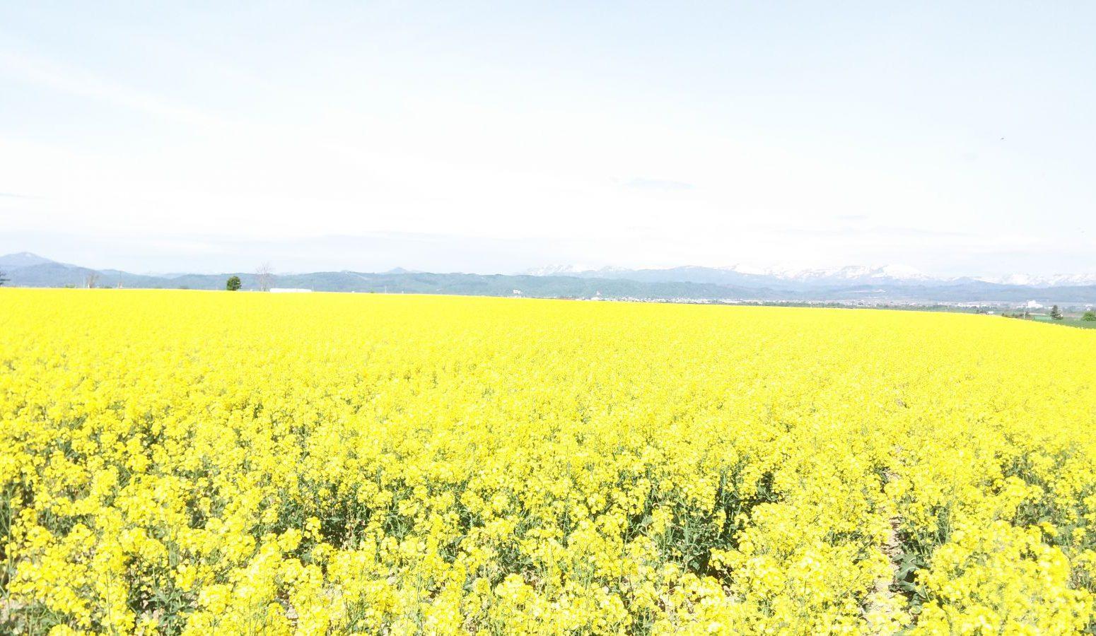 滝川市丸加高原周辺の菜の花畑です。