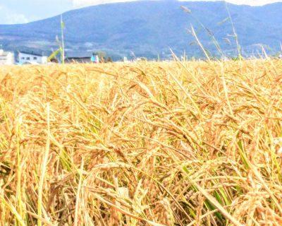 【北海道】秋の恵み・北海道のお米間もなく収穫です。