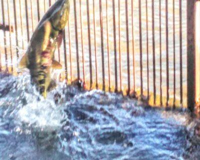 【余市】今年も余市川に鮭が遡上しております。