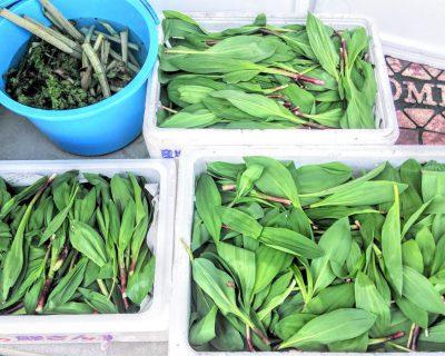【北海道の山菜】積丹の山で今年初の山菜採りです。