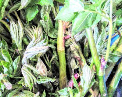 【北海道の山菜】積丹岳麓で山菜採りです。