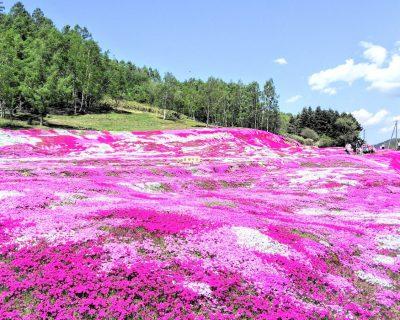 【倶知安】三島さんの芝桜庭園です。
