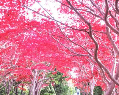 【札幌】紅葉の平岡樹芸センター観光案内です。