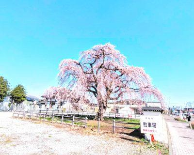 【北斗市】法亀寺の枝垂れ桜です。