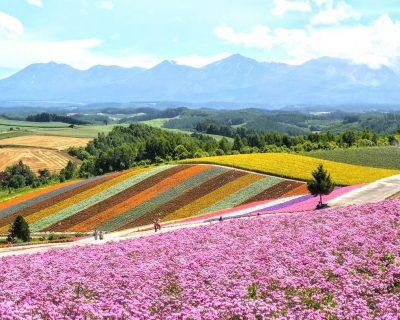 富良野~美瑛~旭川観光貸切タクシー丘のまち美瑛展望花畑・四季彩の丘観光案内です。