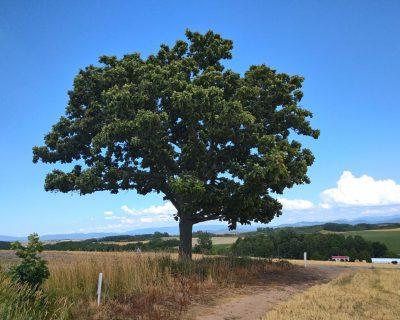 富良野~美瑛~旭川観光貸切タクシー高橋の美瑛町セブンスターの木観光案内です。